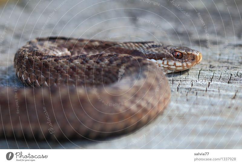 Kreuzotter Natur Tier Wildtier Schlange Schuppen Reptil 1 beobachten dunkel Ekel exotisch braun grau bizarr bedrohlich Umwelt krabbeln Giftschlange Jäger