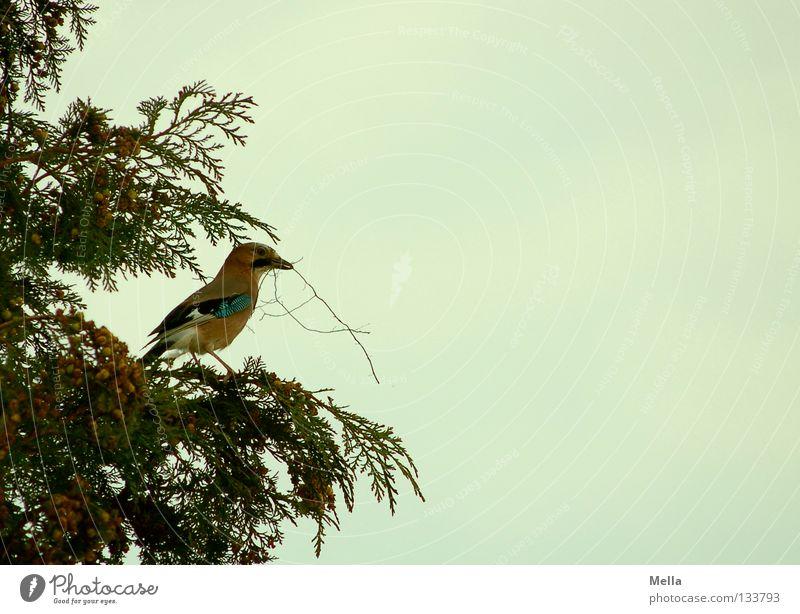 Nestbautrieb Umwelt Natur Pflanze Tier Baum Sträucher Zypresse Vogel Eichelhäher 1 bauen hocken Blick sitzen tragen natürlich Farbfoto Außenaufnahme