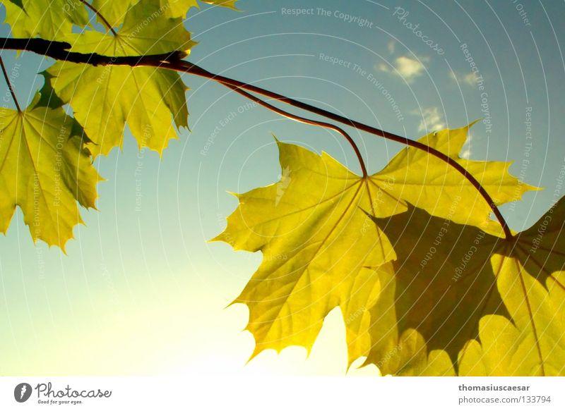 Frühlingswärme Blatt grün Physik frisch Fröhlichkeit gelb Baum Herbst Licht Sommer Ahorn springen Himmel Natur hell Wärme Ast Sonne Trees Sky Leaf