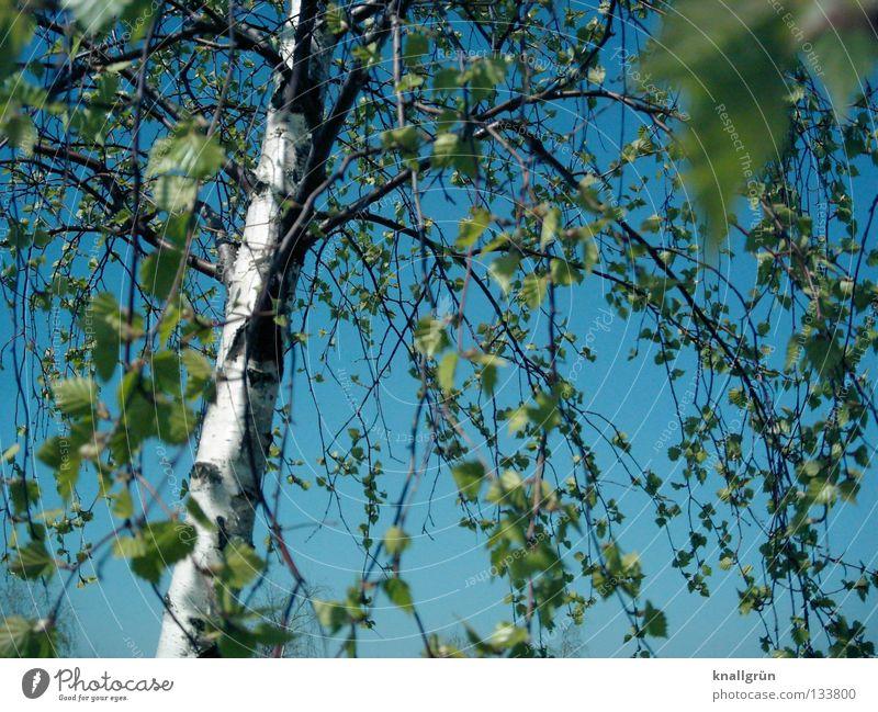 Himmelblau mit Birkengrün Frühling Sommer Baum Baumstamm Baumrinde Blatt hell-blau hellgrün weiß braun Alba Weissbirke Ast Schönes Wetter