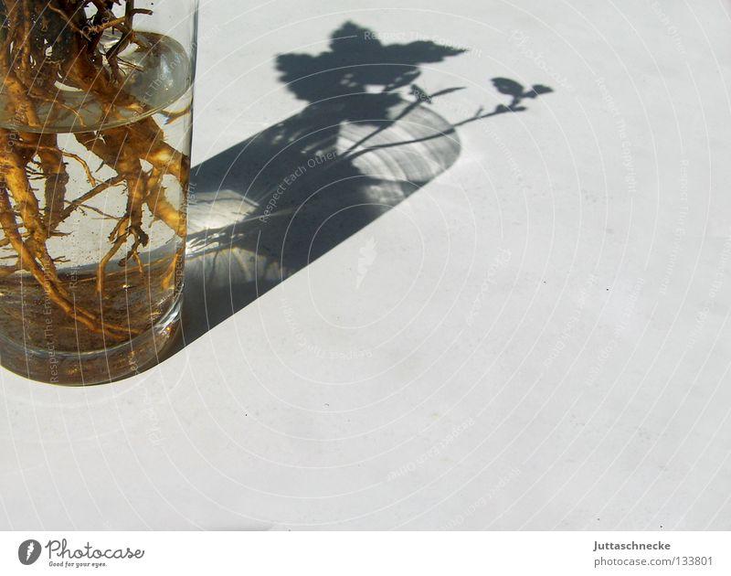 (Nacht)Schtattengewächs Pflanze Sonne Sommer Garten Glas warten Dekoration & Verzierung Im Wasser treiben Wurzel Vase bequem Gärtner Setzling Wasserglas