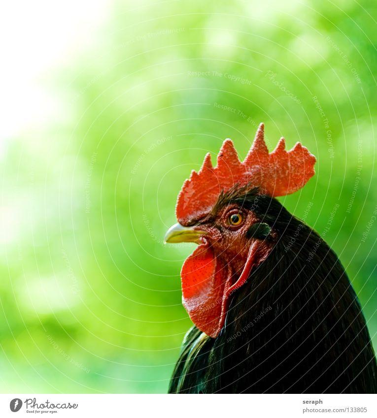 Hahn Tier Vogel beobachten Feder Weide Bauernhof Wachsamkeit Bioprodukte Haustier schreien Biologische Landwirtschaft Schnabel Landwirtschaft Haushuhn Krähe Hahn