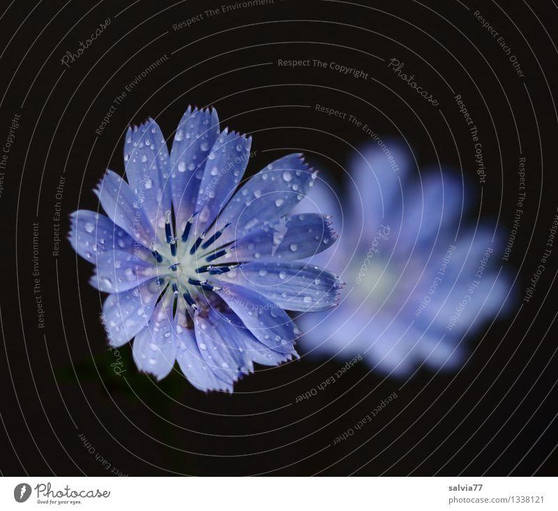 Wegwarte Natur blau Pflanze schön Erholung Blume ruhig schwarz Blüte Gesundheit Glück Gesundheitswesen frisch ästhetisch Blühend Tropfen