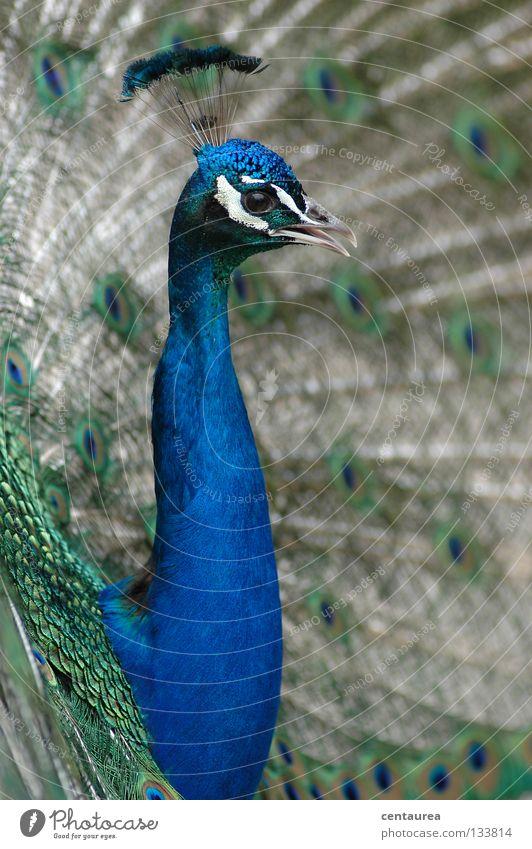 Pfau #1 schön grün blau Tier Vogel Asien Zoo China edel beeindruckend Pfau Brunft Angeben