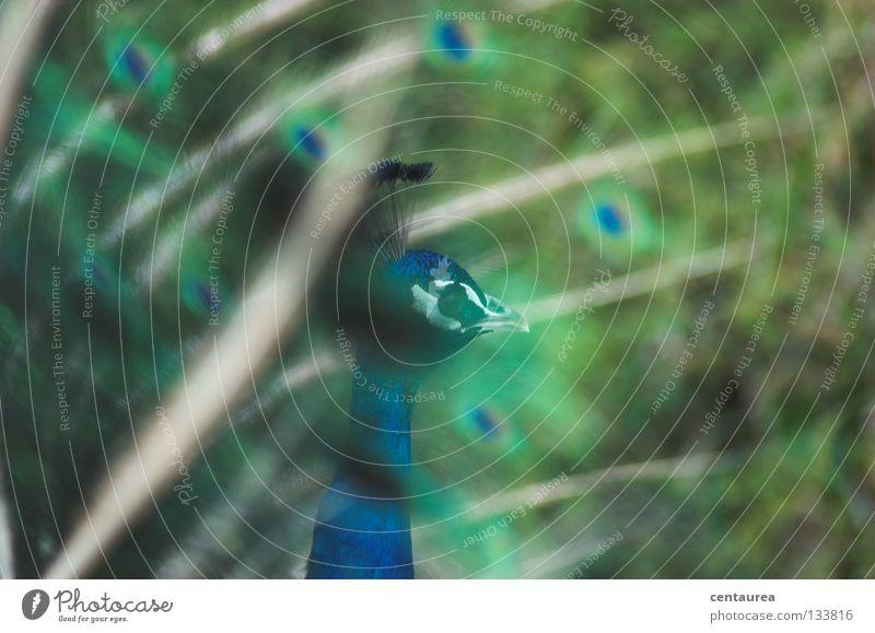 Pfau #2 Vogel Tier grün mehrfarbig China Asien Zoo Brunft beeindruckend edel Bömmel blau markant schön Angeben malerisch gemalt