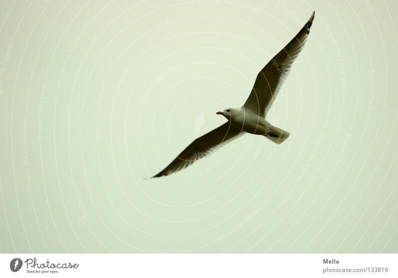 Flieg, Jonathan! Umwelt Natur Tier Luft Himmel Vogel Flügel Möwe 1 fliegen frei natürlich grau Freiheit Farbfoto Außenaufnahme Menschenleer Textfreiraum links