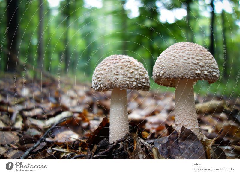 zwei Männlein stehn im Walde Natur Sommer Blatt Herbst natürlich Lebensmittel braun Wachstum Idylle Ernährung Pilz Waldboden Laubwald