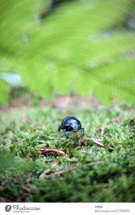 Karl hört zu. Natur Pflanze Tier Moos Farn Wald Waldboden Wildtier Käfer Mistkäfer 1 hocken krabbeln glänzend klein grün schwarz Neugier Farbfoto Außenaufnahme