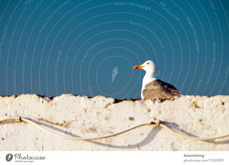 auf der Mauer, auf der Mauer... Umwelt Natur Tier Himmel Wolkenloser Himmel Wetter Schönes Wetter Essaouira Marokko Stadt Haus Wand Vogel Tiergesicht Flügel