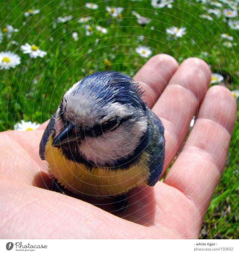 Scheiben-Unfall #2 Natur Hand blau weiß schwarz Tier gelb Gras klein Vogel Haut sitzen Finger Hilfsbereitschaft Feder niedlich