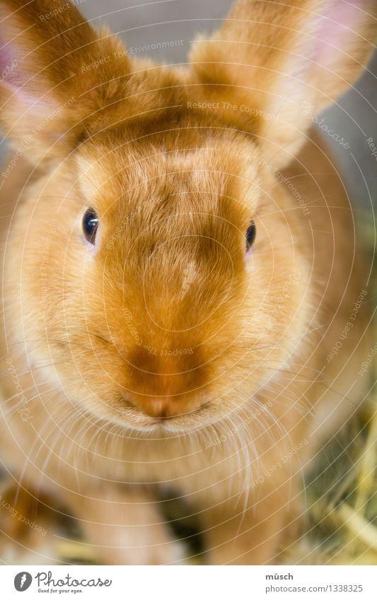 Hase Tier Hase & Kaninchen beobachten kuschlig braun Vertrauen Geborgenheit Tierliebe friedlich Angst Energie bedrohlich Geschwindigkeit Kindheit Teamwork