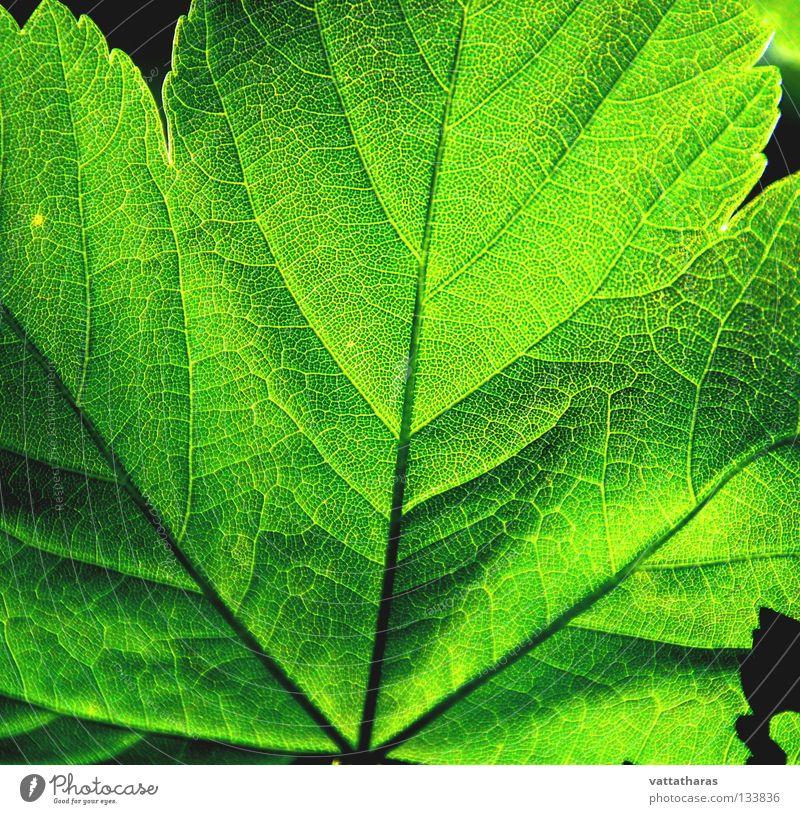 Green Leaf 1 Ahorn Natur springen Makroaufnahme Nahaufnahme Colour Light Shade