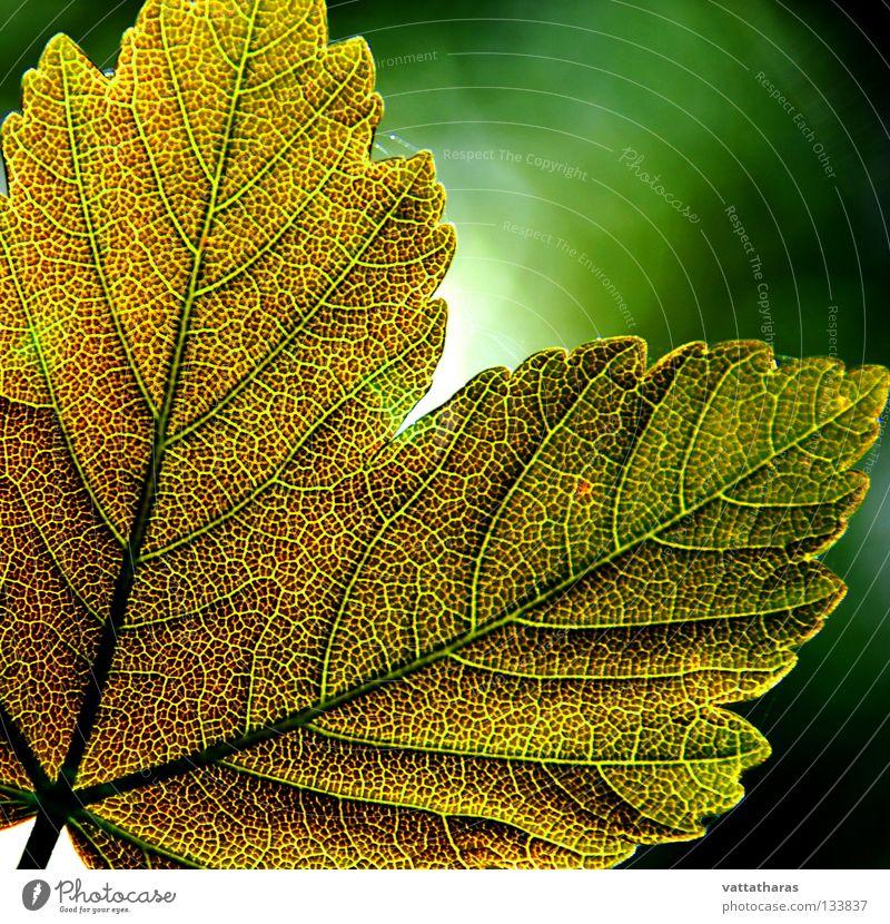 Green Leaf 2 Ahorn Natur springen Design Makroaufnahme Nahaufnahme God's Colours