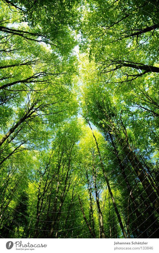 Märchenwald Himmel Wald himmelblau Geometrie Laubbaum Buche Buchenwald Nadelwald Laubwald Waldwiese Paradies Perspektive Waldlichtung ruhig grün Pflanze Baum