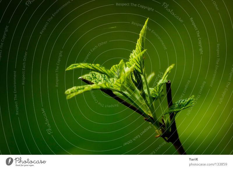 grünton 99b515 sprießen Wachstum gedeihen Waldrand Pflanze Physik Sonnenstrahlen Frühling Sonnenlicht Sonnenuntergang grün-gelb Blattgrün Unterholz Sträucher