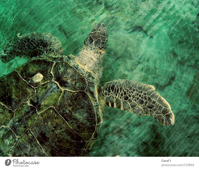 Hey Dude! Schildkröte Wasserschildkröte grün Tier alt tauchen Findet Nemo Muster Wellen Leben türkis zyan Unterwasseraufnahme wellig Geschwindigkeit