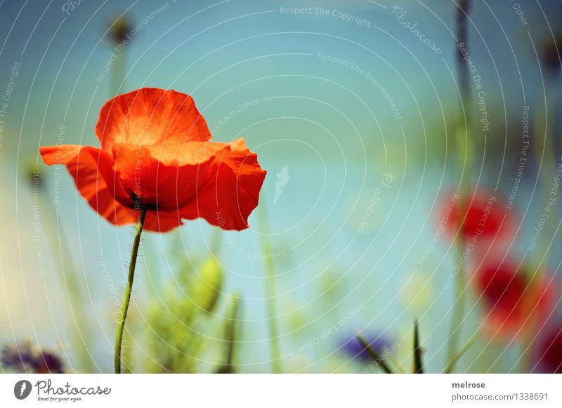 Melancholie Lebensmittel Mohn elegant Stil Natur Pflanze Himmel Wolkenloser Himmel Sommer Schönes Wetter Blume Gras Blatt Blüte Klatschmohn Blütenstauden Feld