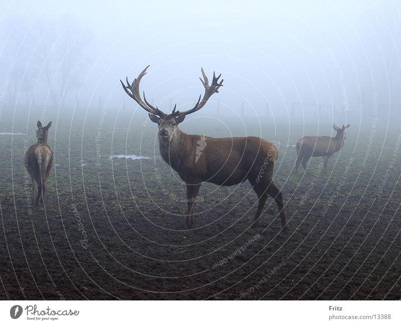 beck-motiv-16 Herbst Nebel Hirsche Tier Brunft