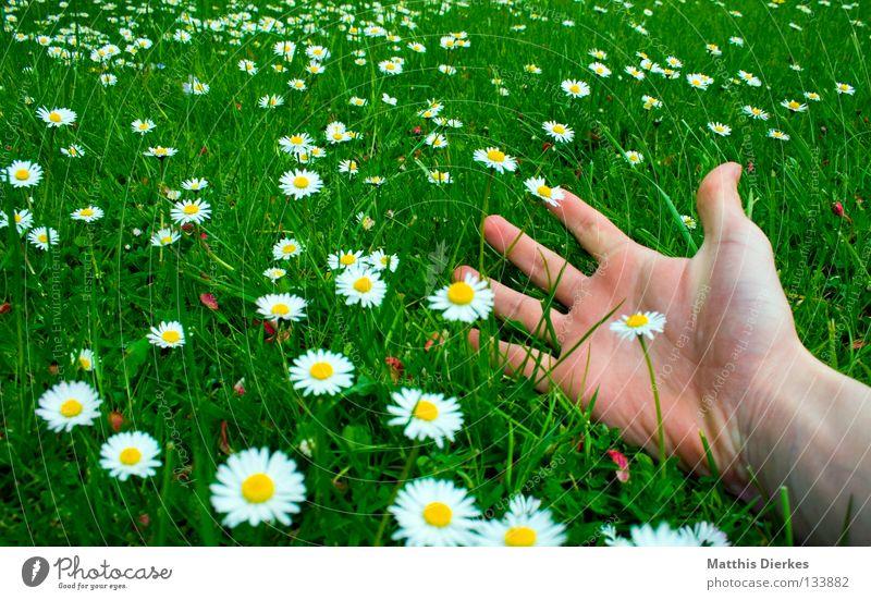 Freiheit Sommer Frühling Mai April Schönes Wetter schön Wiese Gras grün Gänseblümchen Blume Blumenwiese Hand Finger Weitwinkel Erholung Feierabend Wochenende
