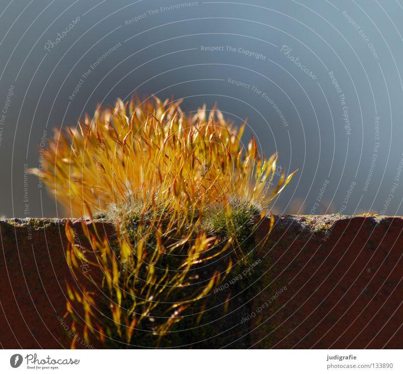 Goldschopf Natur Himmel Pflanze gelb Farbe Leben Mauer glänzend gold Wachstum weich zart Backstein gedeihen Sporen Sporenkapsel