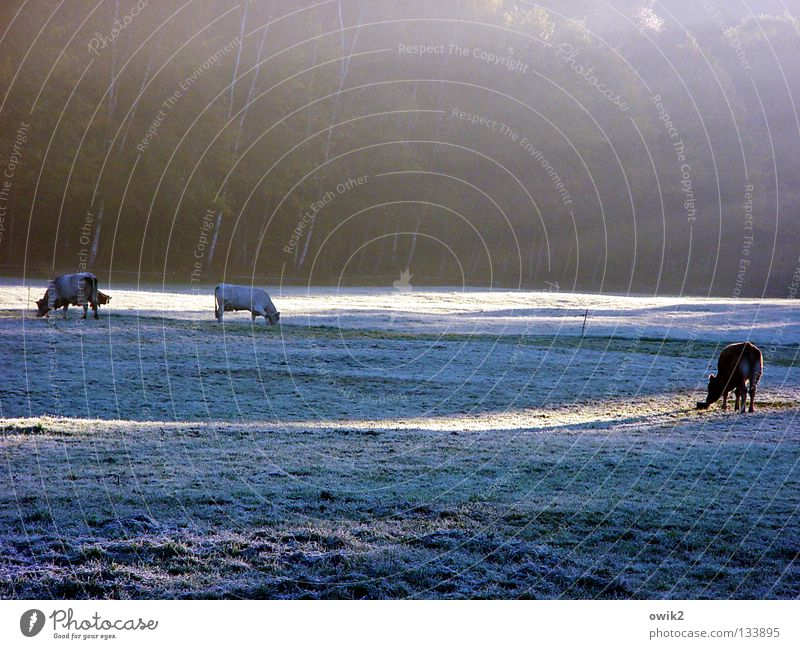 Kalte Küche Winter Schnee Umwelt Natur Landschaft Pflanze Tier Nebel Eis Frost Gras Wiese Nutztier Kuh Rind Rinderhaltung 3 Fressen füttern genießen frisch hell
