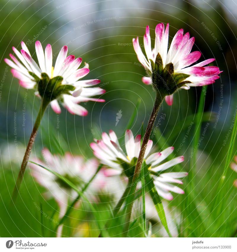 guten morgen sonnenschein Gänseblümchen Blume Blüte Gras Beleuchtung stehen Blühend entfalten weiß rosa grün Wiese groß Macht nebeneinander 2 Zusammensein