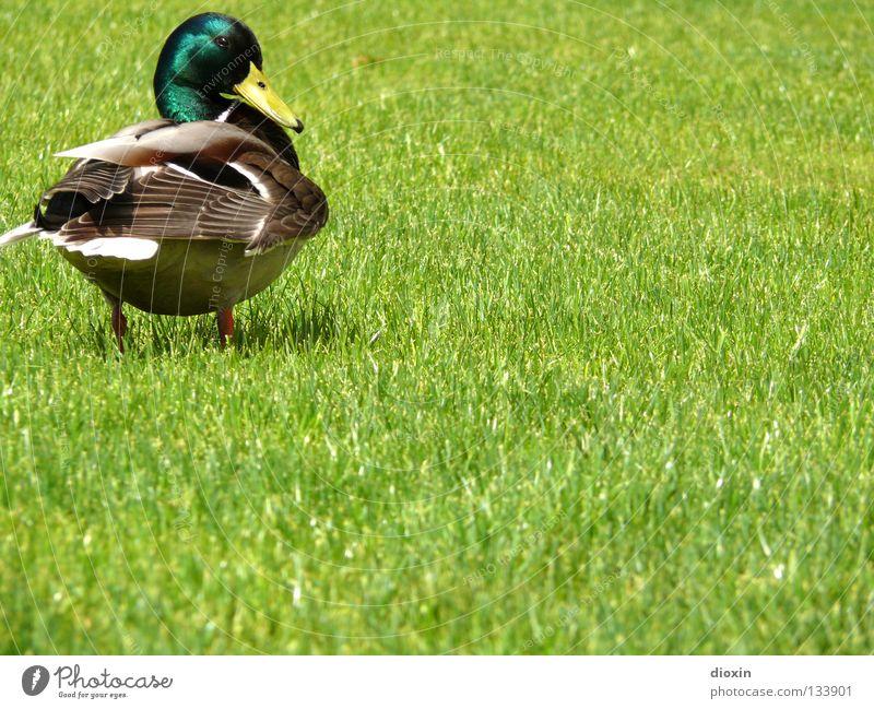 Is noch was...?! Stockente Vogel Wiese Gras Hausente Badeente Daunen Schnabel Erpel watscheln Ente Anatinae Wasservogel Gänsevögel Rasen Wildente Schwimmente
