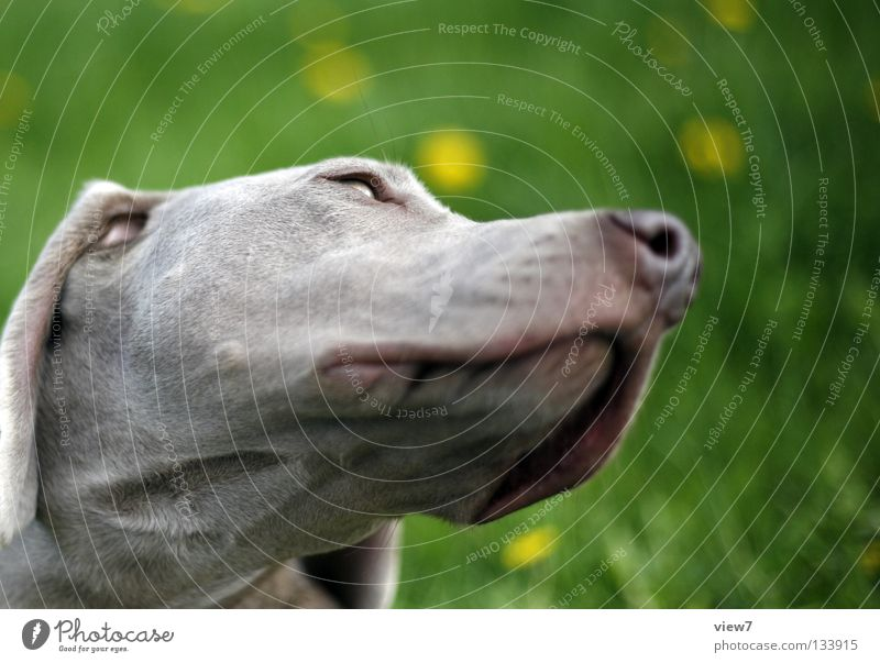 Unterseite Hund Schnauze grau Weimaraner Säugetier Kontrast Farbe Detailaufnahme Nase Hundekopf Hundeschnauze Außenaufnahme Tiergesicht Tierporträt Haushund
