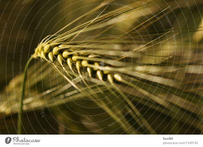 Ähre Pflanze Sommer Gras Nutzpflanze Gerste Roggen Getreide Ähren Feld Wachstum nachhaltig natürlich stark gold grün Kontinuität elegant Gelassenheit Vorsorge