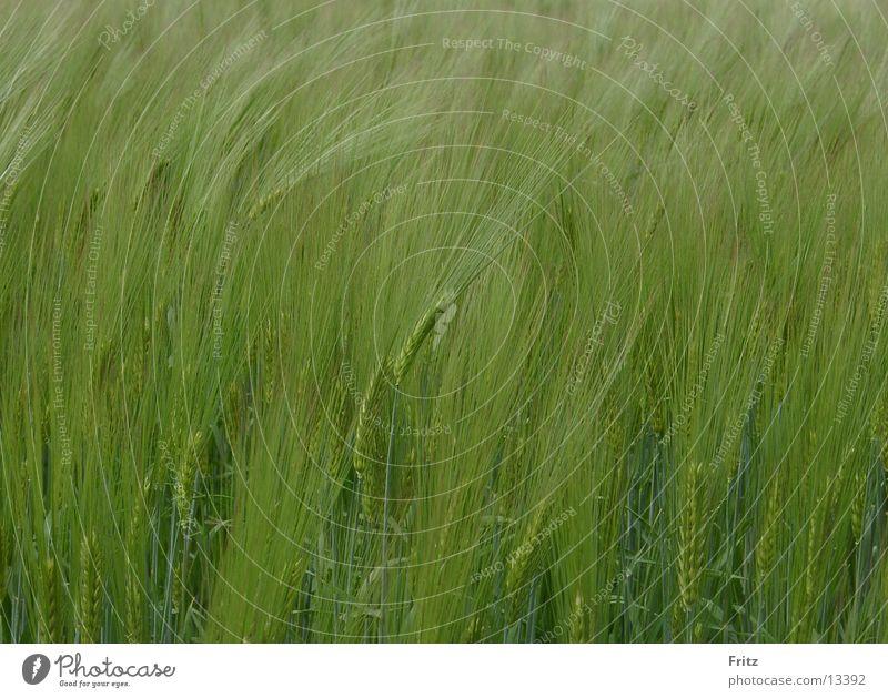 zuviel-der-ähre grün Frühling Feld Kornfeld Ähren