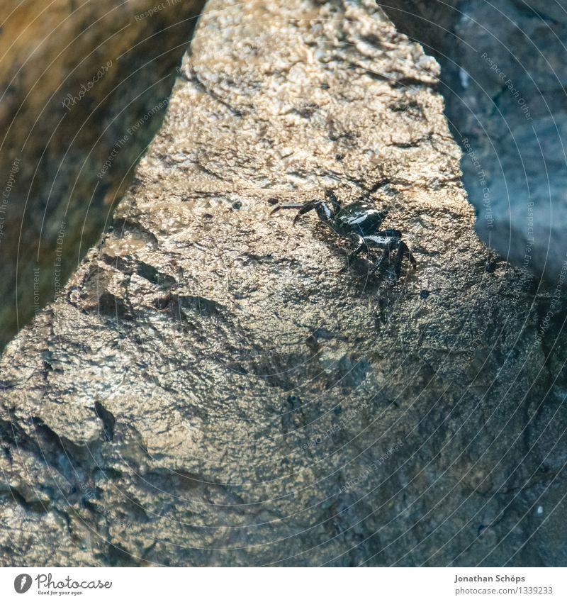 krabbelnd Tier Wildtier 1 Angst Entsetzen gefährlich Nervosität verstört Feindseligkeit Krabbe Krebs Ekel erschrecken Stein Felsen Meer Strand Süden Frankreich