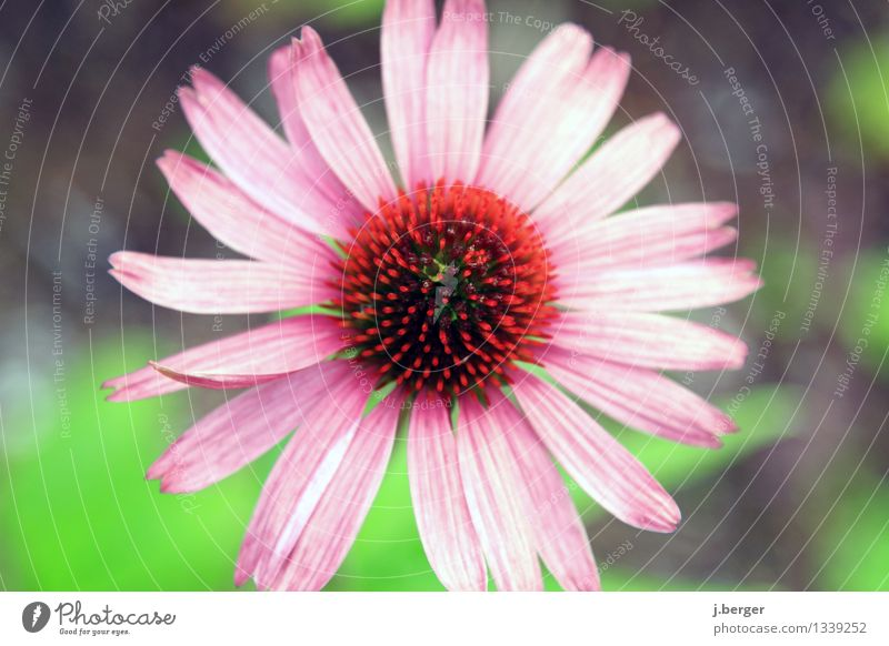 blüte Natur Pflanze Blüte Wildpflanze exotisch Blühend grün rosa rot Blütenmakro Farbfoto Außenaufnahme Nahaufnahme Detailaufnahme Makroaufnahme