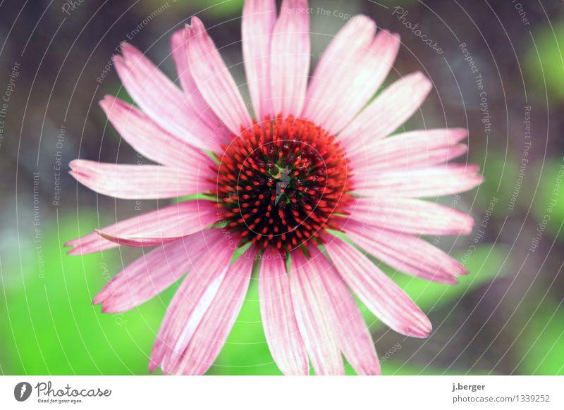 blüte Natur Pflanze grün rot Blüte rosa Blühend exotisch Wildpflanze