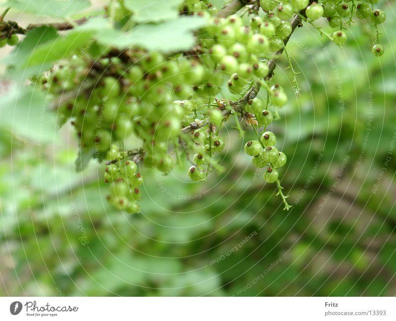 noch-nicht-reif grün Sträucher Beeren unreif