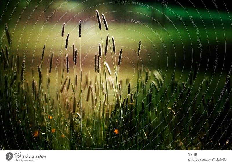lichtschein Pflanze Wiese Gras Halm Blume Feld Wind Herbst dunkel Abend Nacht Mondschein schwarz Schatten grün braun dunkelgrün unheimlich unheilbringend Sturm