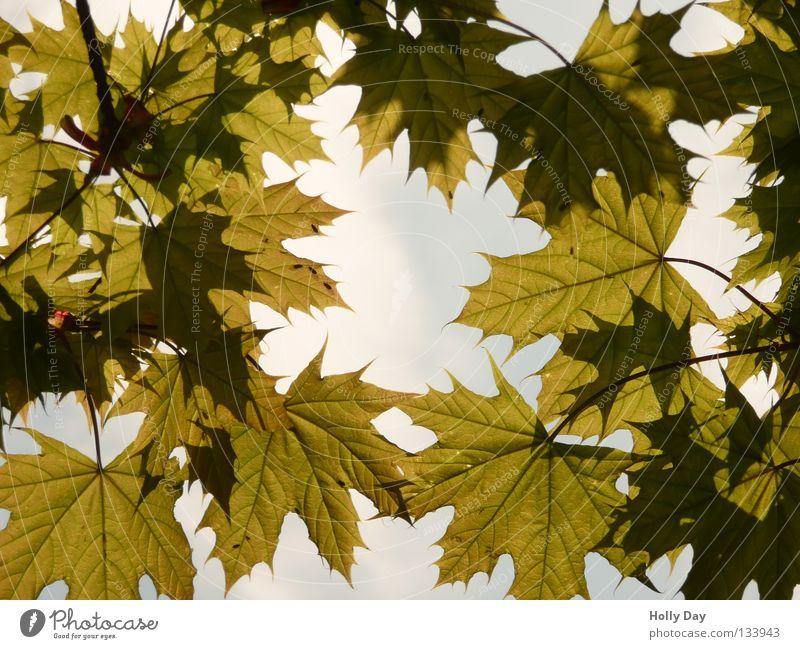 Blätterwald Himmel Baum Sommer Blatt dunkel Frühling hell Niveau Wut durchsichtig Raupe durchscheinend