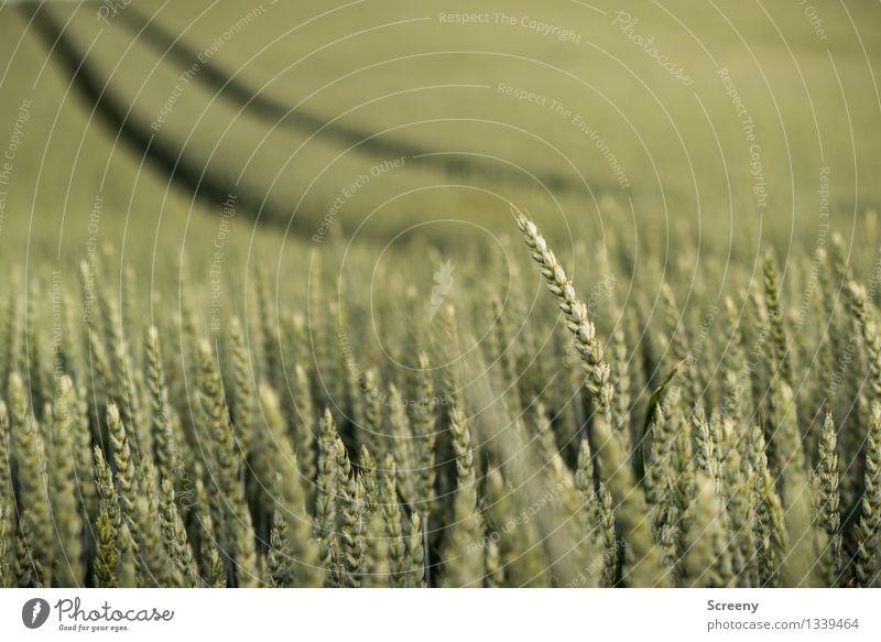 Ein Weg im Kornfeld... Natur Pflanze grün Sommer Landschaft Wege & Pfade Feld Wachstum Spuren Getreide Weizen Nutzpflanze geschwungen