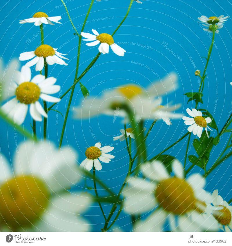kamill harmonisch Wohlgefühl Sommer Natur Pflanze Luft Frühling Blume frisch viele blau gelb grün weiß Bewegung Kamille leicht fein zierlich mehrere
