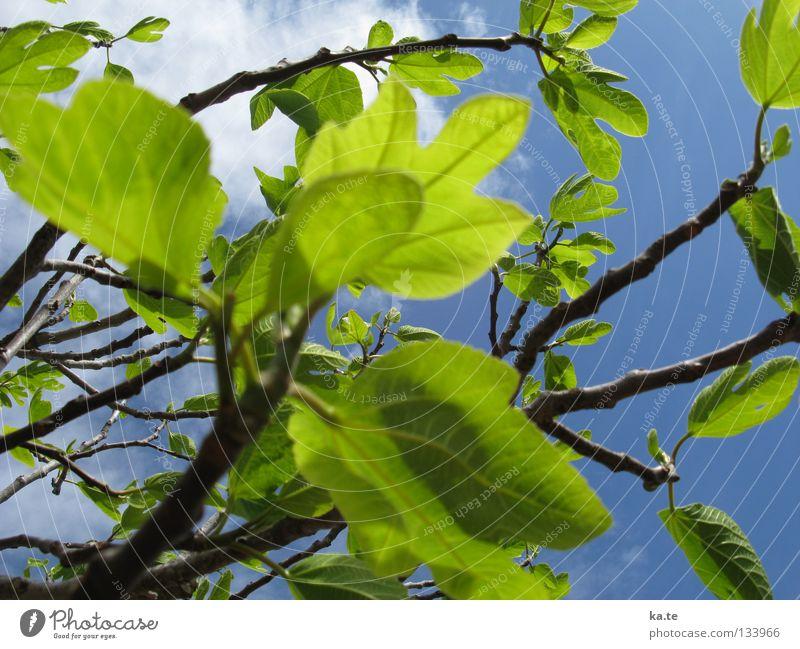 es grünt so grün Natur Baum Blatt Wolken Leben Frühling Glück Kraft Energiewirtschaft Wachstum frisch leuchten neu Ast zart