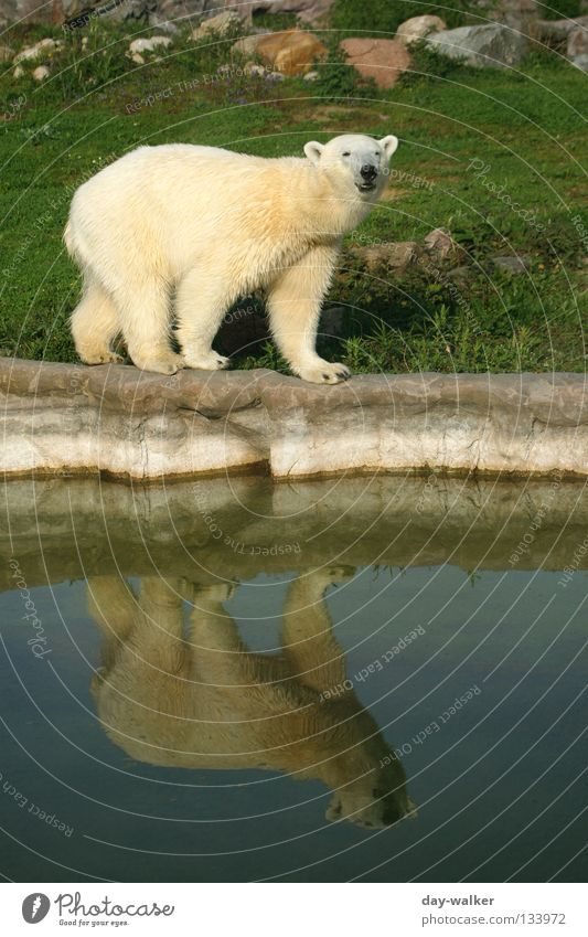 Der schmale Grat Natur Wasser Tier Bär Fell Zoo gefangen Säugetier Gleichgewicht Gehege Wildnis Flocke Nordpol Eisbär Landraubtier Arktis