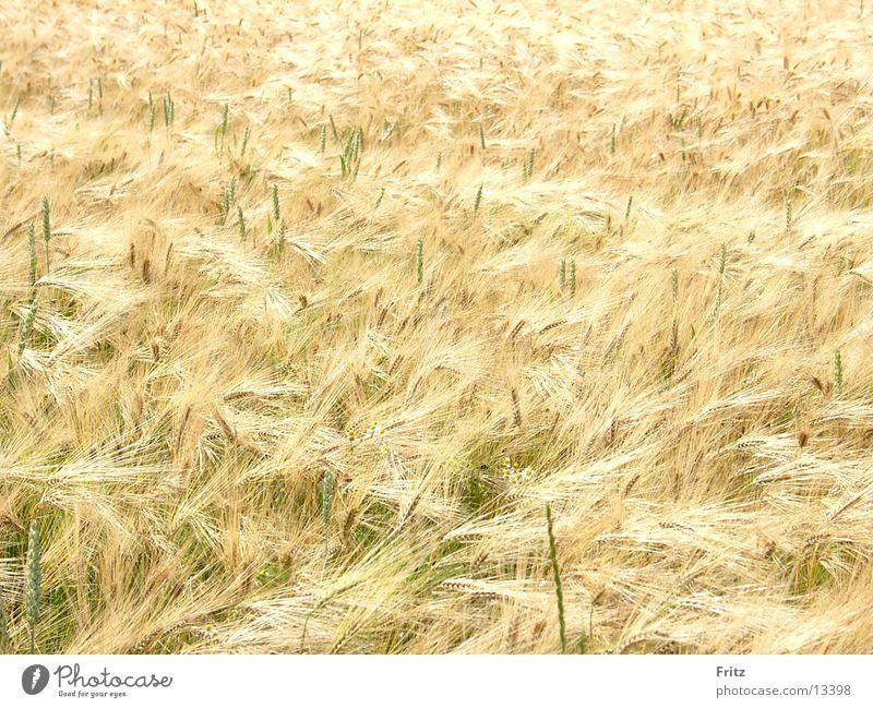 golden Sommer Feld Korn