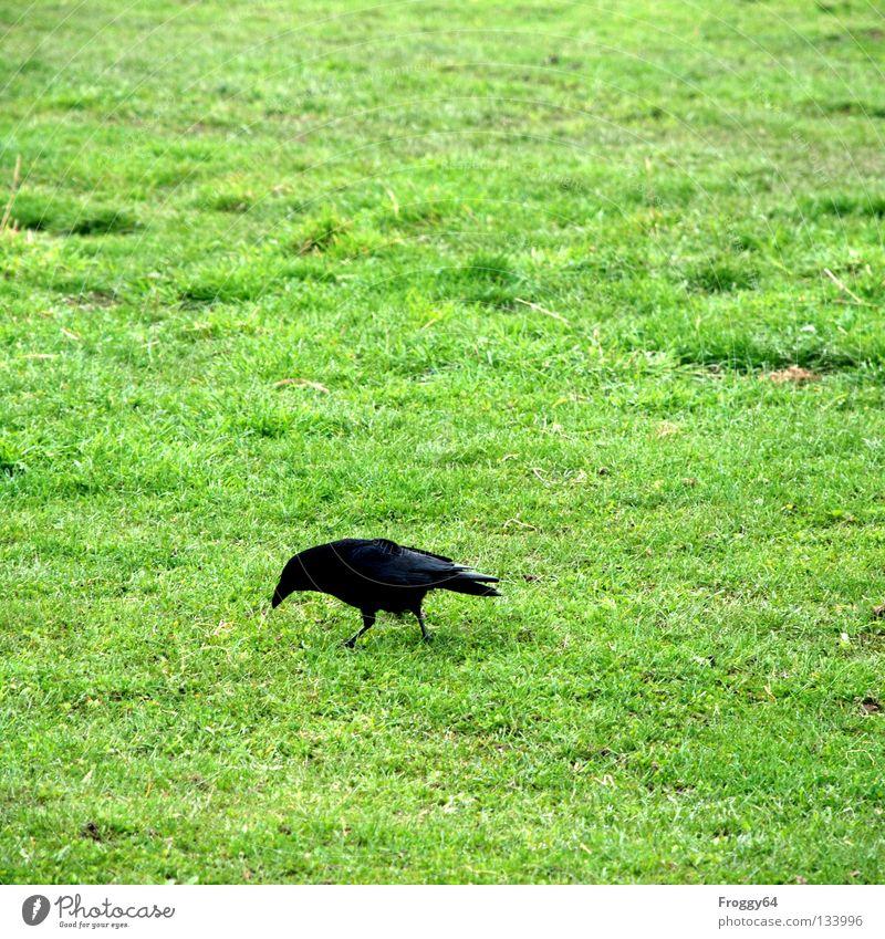 Futtersuche Rabenvögel Vogel Schnabel schwarz grün Gras Wurm Ernährung Suche finden Wiese Gehege Himmel Flügel Feder Lebensmittel mundenhof