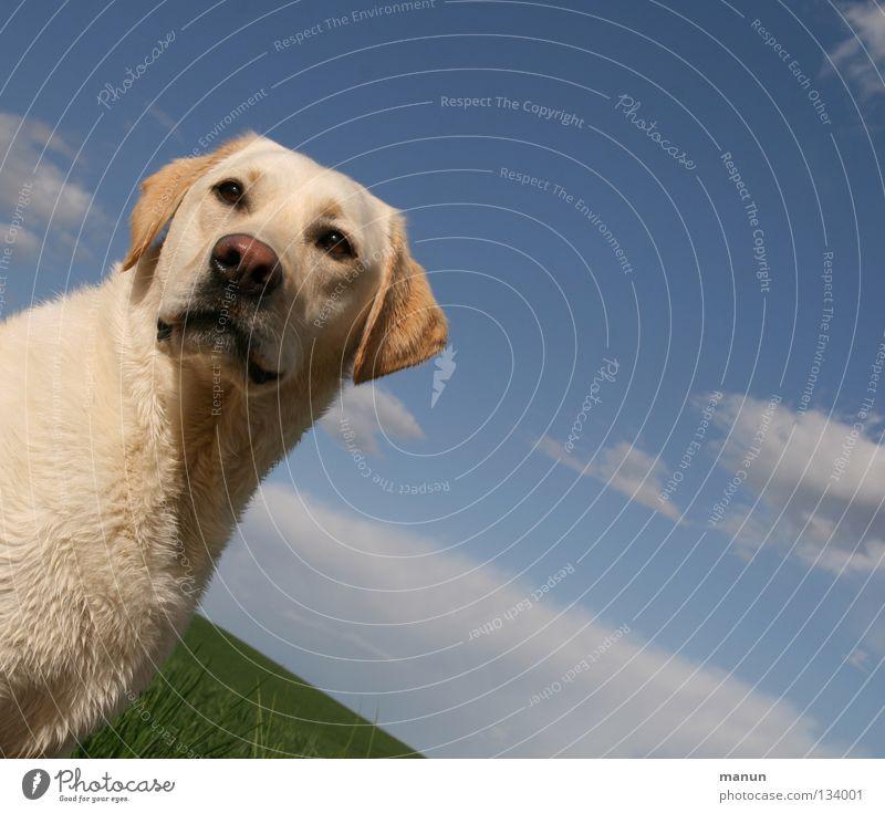 blond Himmel Hund grün schön Sommer Tier Wolken ruhig gelb Wiese Haare & Frisuren süß Fell Aussicht Freundlichkeit