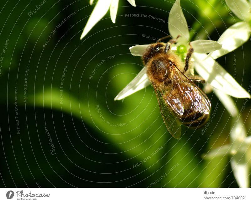 Making of Bärlauchhonig Sommer Ernährung Frühling Blüte fliegen Blühend Biene Insekt Sammlung rechnen Pollen Honig Staubfäden Nektar Bienenstock Imker