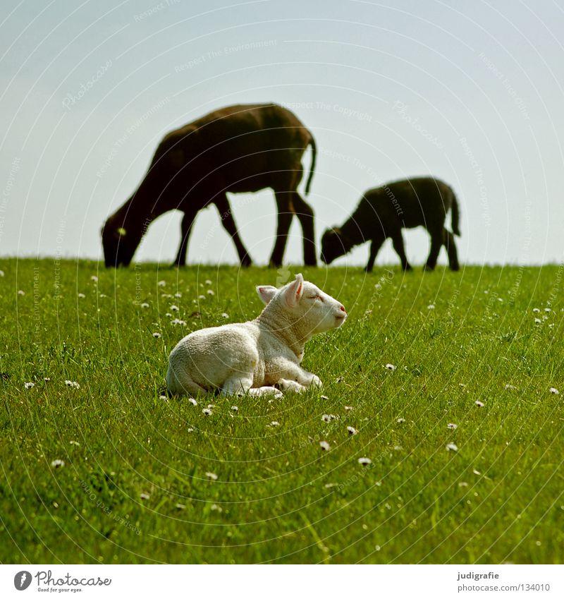Das weiße Schaf in der Familie Himmel Natur Tier Einsamkeit Farbe Umwelt Wiese Ernährung Gras klein Idylle Kitsch zart Nordsee Schaf Gänseblümchen