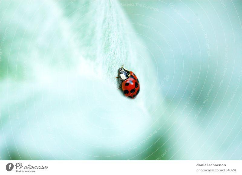 Käfer Marienkäfer grün rot Kontrast mehrfarbig langsam krabbeln Sommer Frühling Glück Farbe Makroaufnahme