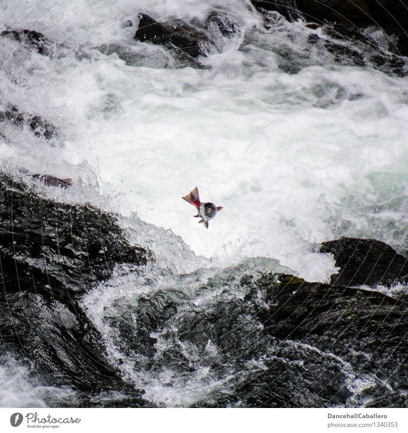 Heimkommen l Die letzte Reise Ferien & Urlaub & Reisen Tier Tod springen Kraft wandern Erfolg Ausflug Abenteuer Ziel Fisch Fluss Todesangst stark Angeln Bach