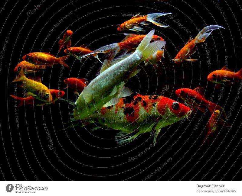 Funky Fishez! Wasser rot Meer Tier gelb Leben See Freundschaft Unterwasseraufnahme Zusammensein orange nass gold Fisch mehrere Freizeit & Hobby