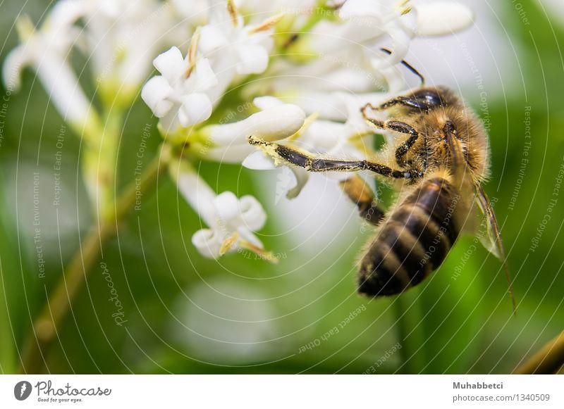 Bee Biene Flügel Essen füttern bee Honig Blüte Insekt Makroaufnahme Farbfoto Außenaufnahme Nahaufnahme Tag Schwache Tiefenschärfe Starke Tiefenschärfe