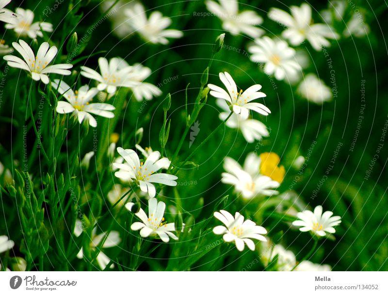 Waldromantik Blume Blüte Frühling Blühend Wachstum gedeihen weiß grün schön Romantik bllühen übersät Schatten Schönes Wetter Große Sternmiere